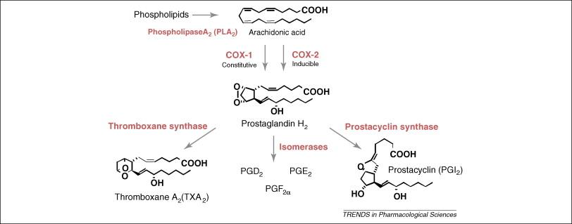 COX inflammatory pathway