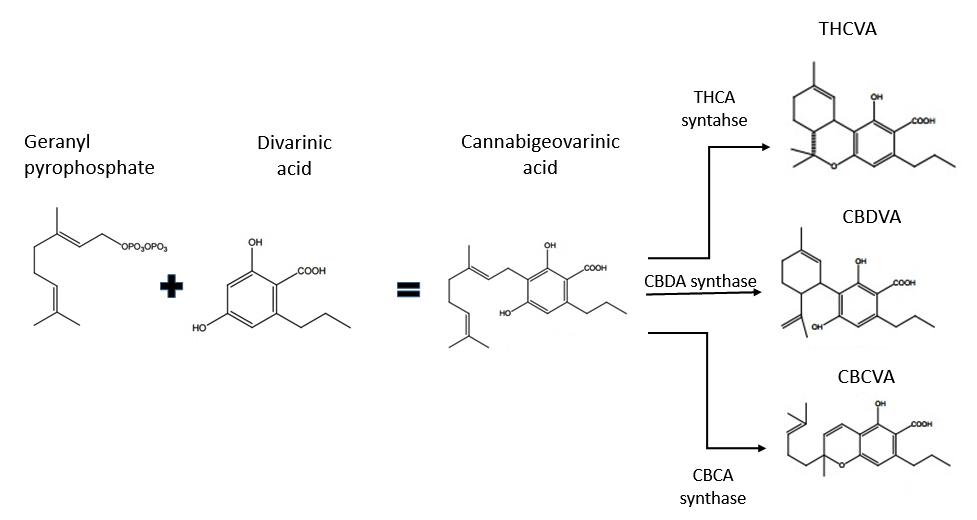 THCV synthesis pathway